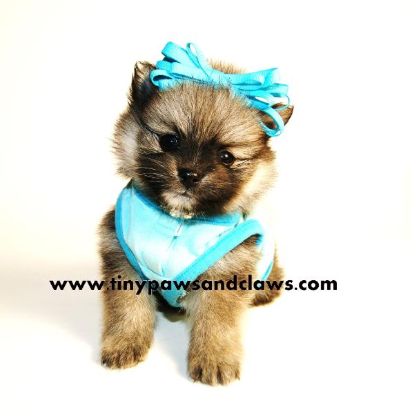 teddy bear pomeranian puppies for sale available 9469