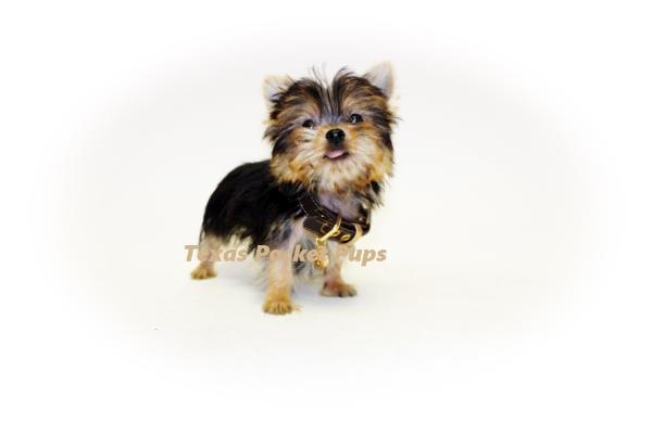 Teacup yorkie puppies for sale in Houston Texas PARTI