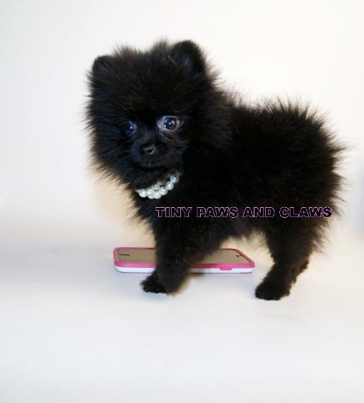 black teddy bear pomeranian - photo #46