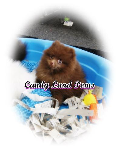 Teacup Pomeranian puppies for sale Teddy Bear Poms