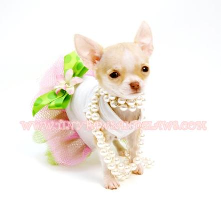 Teacup Micro Pocket Chihuahua Puppies For Sale in Houston Texas