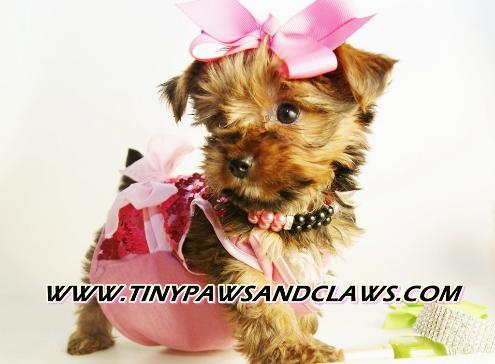 Texas Teacup Puppies chihuahua yorkie pomeranian Morkie Shorkie