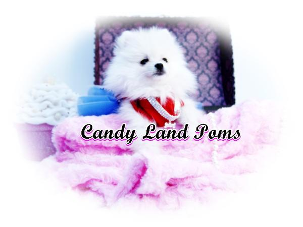Teacup Pomeranian puppies for sale Teddy Bear Poms