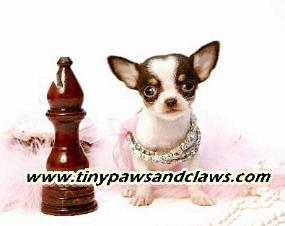 Teacup Chihuahua Puppies For Sale in Houston Texas