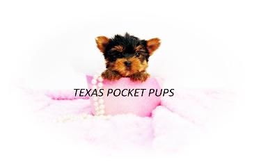 Texas Teacup Puppies chihuahua yorkie pomeranian Morkie Shorkie